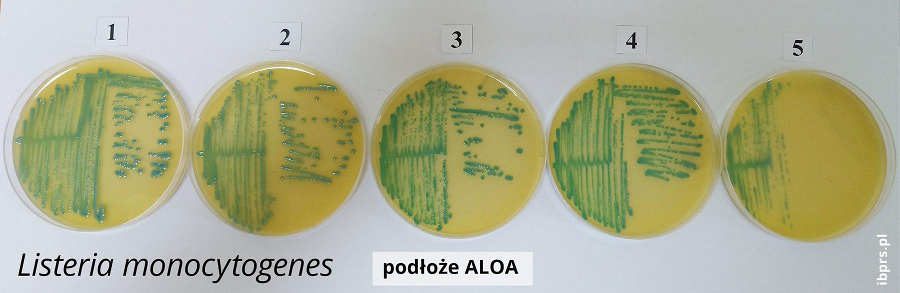 Płytka z preparatem Listeria monocytogenes na podłożu ALOA.